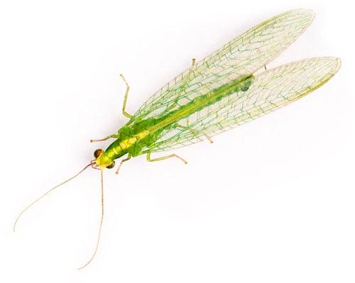 Insektenwand ist optimalzum Misten für Florfliegen