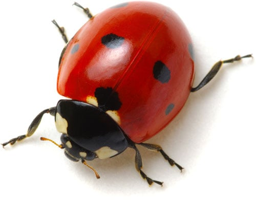 Marienkäfer sind oft in Insektenkasten