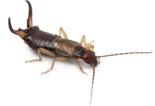 Ohrenklammer oder Ohrenzwicker sind Bewohner eines Insektenhotels