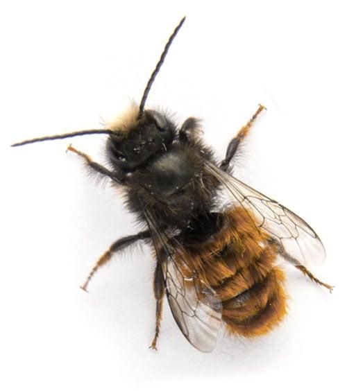 Wildbienen nutzen Insektenhotel auch zum Überwintern.